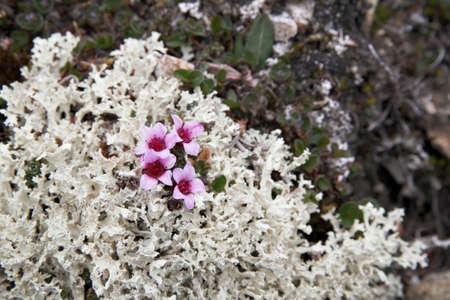 tundra: Small tundra flowers
