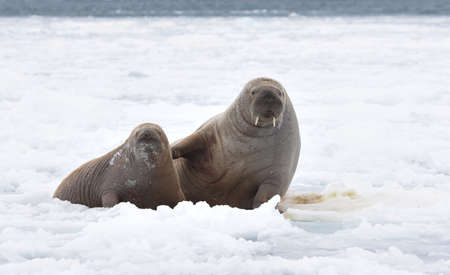 greenland: Walruses in the Arctic