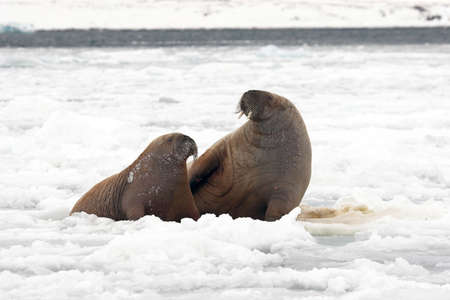 antarctic: Walruses in the Arctic