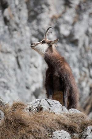 mountain goats: Capre di montagna in ambiente naturale