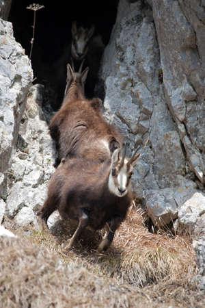 mountain goats: Mountain goats in natural environment