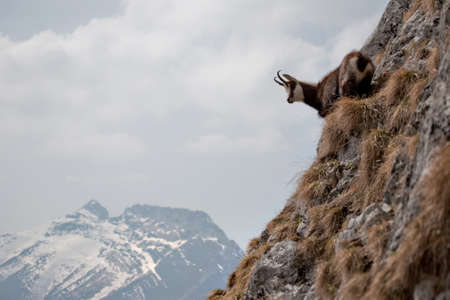 Mountain goat in natural environment Imagens