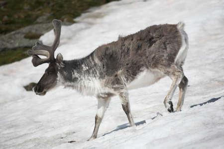 habitat: Arctic wild reindeer in natural habitat