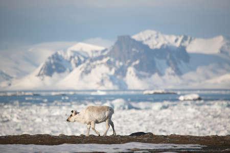 alpine tundra: Wild reindeer in natural Arctic habitat - Spitsbergen, Svalbard Stock Photo
