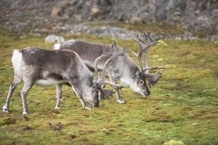 tundra: Wild reindeer on green tundra - Spitsbergen, Arctic