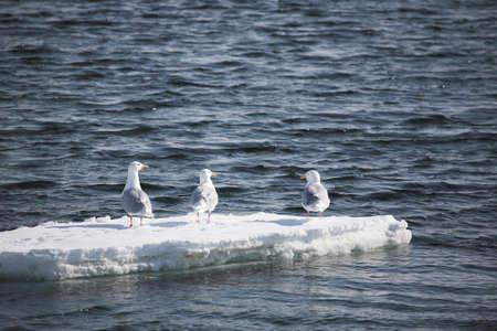 larus: Glaucous gull (Larus hyperboreus) - Arctic, Svalbard