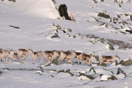 svalbard: Herd of wild reindeers - Svalbard