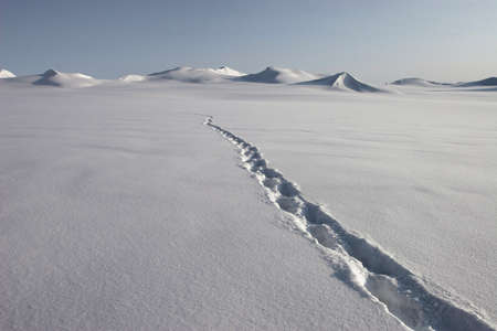 polar climate: Polar bear track on the snow - Spitsbergen, Svalbard