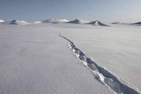 svalbard: Polar bear track on the snow - Spitsbergen, Svalbard