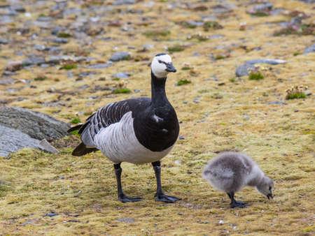 svalbard: Barnacle geese with chicks - Spitsbergen, Svalbard