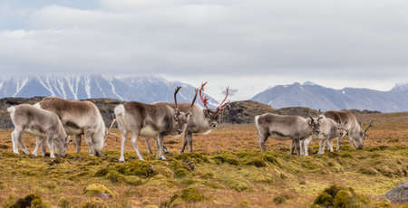 tundra: Herd of wild Arctic reindeer