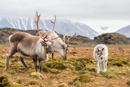Wild Arctic reindeer family