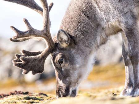 Wild Arctic reindeer portrait