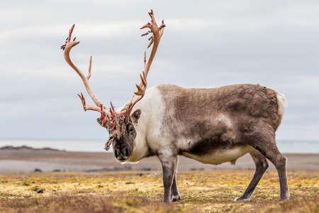 habitat: Wild Arctic reindeer in natural habitat