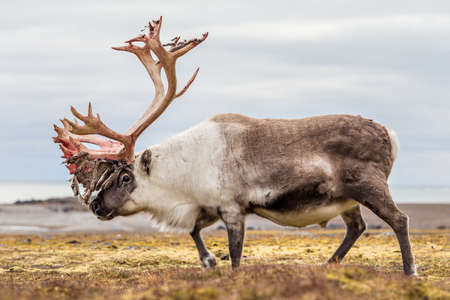 Wild Arctic reindeer prepared to shed his antlers Imagens