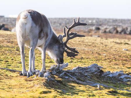 svalbard: Wild Arctic reindeer  - Spitsbergen, Svalbard Stock Photo