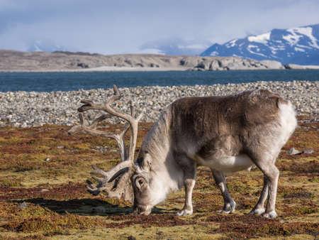 alpine tundra: Wild Arctic reindeer  - Spitsbergen, Svalbard Stock Photo