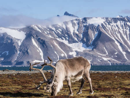 Wild reindeers at the front of the mountains - Arctic, Spitsbergen