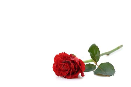 beautiful red rose Stock Photo - 2375534