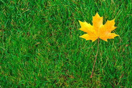 one yellow maple leaf on green grass