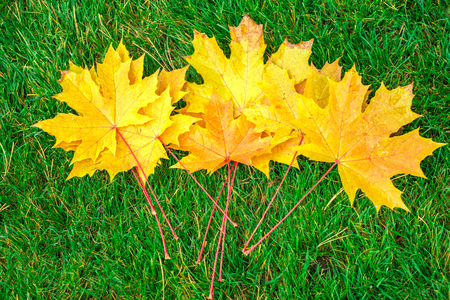 Yellow maple leaves on green grass Stock Photo
