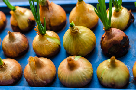 young onion grows on a blue stand