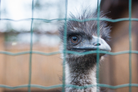 ostrich looks at the frame Stock Photo