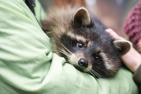 raccoon on the hands