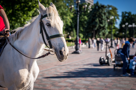 A beautiful white horse, harnessed, in a crowded place, a park Stockfoto