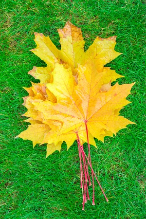 yellow maple leaves on green grass