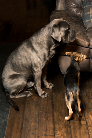 gray big dog breed mastiff and little mongrel, indoors. Vertical frame 스톡 콘텐츠