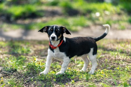 small black and white dog on a background of green grass. Horizontal frame Фото со стока