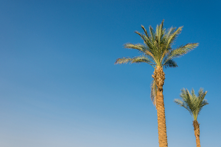 two big green african palm tree against blue sky. Horizontal frame