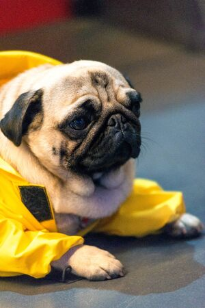 Small beautiful pug in yellow overalls close-up.
