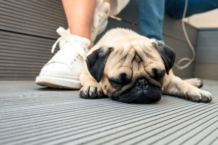 Little beautiful pug sleeps on a wooden floor.