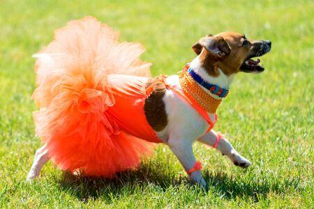 little beautiful dog Jack Russell in a fancy dress. 免版税图像 - 147771035