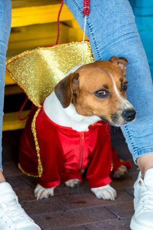 little beautiful dog Jack Russell in a fancy dress. 免版税图像 - 147940665