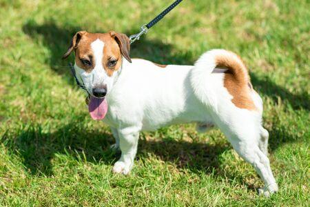 little beautiful dog Jack Russell in a fancy dress.