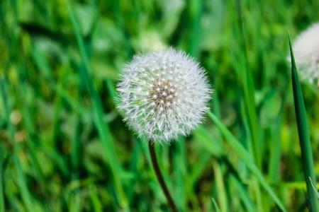 Field white dandelion close-up of green grass