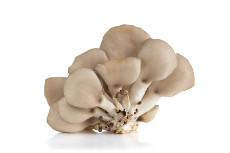 Oyster mushrooms on a white background. Fresh oyster mushrooms close-up on a white background. Stok Fotoğraf