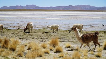 Llama Lama In The Nature