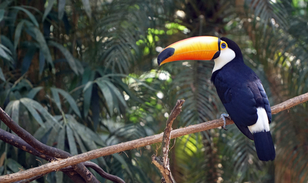 Exotic Toucan Bird In Nature