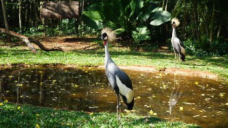Gray Crowned Crane Bird Stockfoto