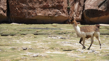 Llama Lama In The Nature
