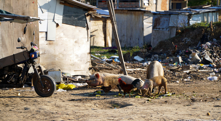 Pigs are searching for food and take a rest in a polluted