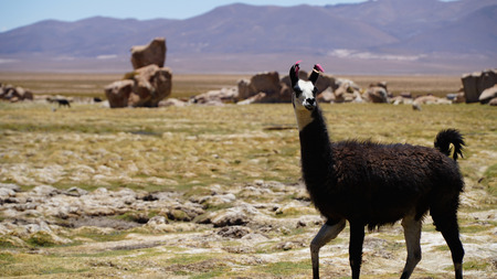 Cute Brown Lama in the Valley of San Pedro de Atacama