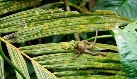 葉の上の変更可能なトカゲ 写真素材