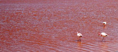 ラグーナ・コロラダ、アルティプラノ、ボリビアのフラミンゴとピンクの海