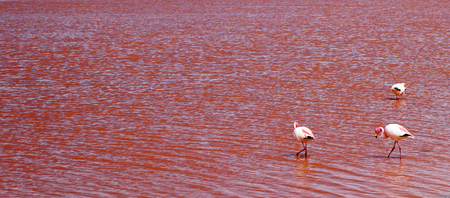 Pink waters with Flamingos at Laguna Colorada, Altiplano, Bolivia