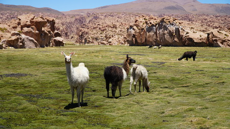 Group Of Guanacos Lama